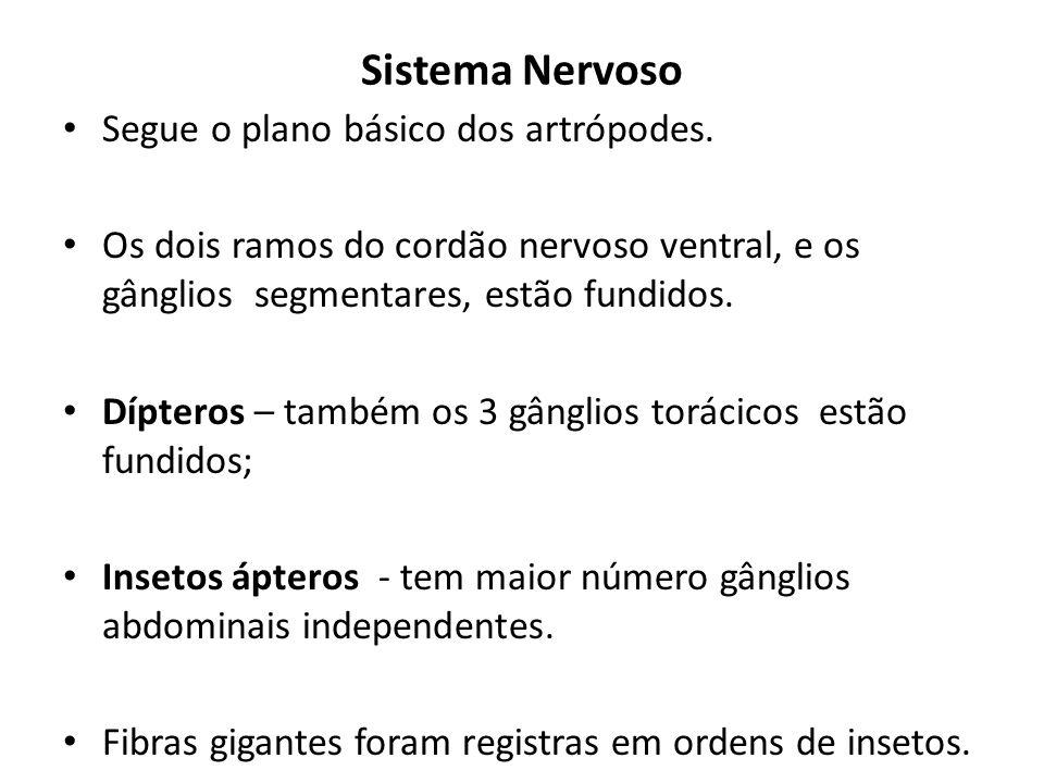 Sistema Nervoso Segue o plano básico dos artrópodes. Os dois ramos do cordão nervoso ventral, e os gânglios segmentares, estão fundidos. Dípteros – ta