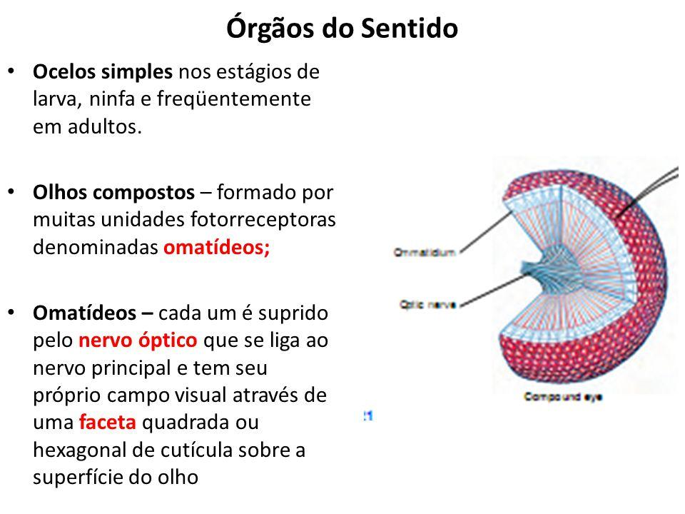 Órgãos do Sentido Ocelos simples nos estágios de larva, ninfa e freqüentemente em adultos. Olhos compostos – formado por muitas unidades fotorreceptor