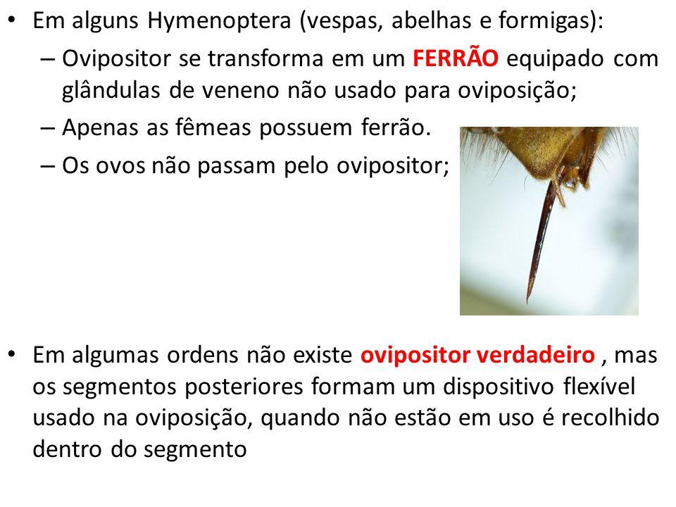 Em alguns Hymenoptera (vespas, abelhas e formigas): – Ovipositor se transforma em um FERRÃO equipado com glândulas de veneno não usado para oviposição