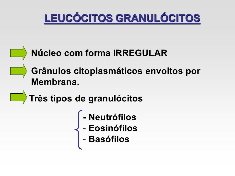 LEUCÓCITOS GRANULÓCITOS Núcleo com forma IRREGULAR Grânulos citoplasmáticos envoltos por Membrana. Três tipos de granulócitos - Neutrófilos - Eosinófi