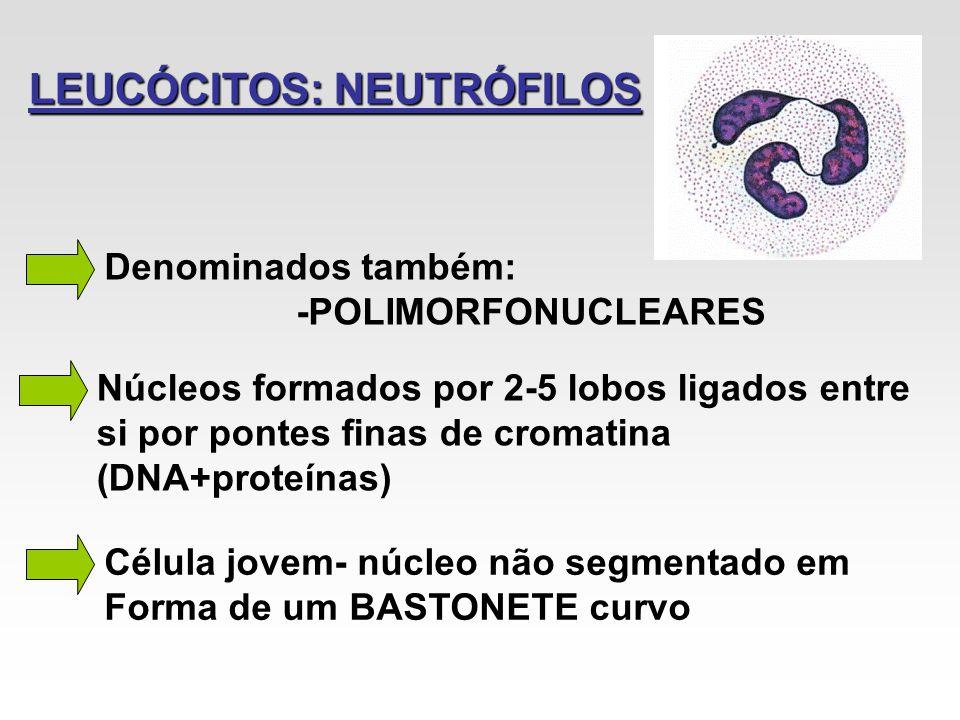 LEUCÓCITOS: NEUTRÓFILOS Denominados também: -POLIMORFONUCLEARES Núcleos formados por 2-5 lobos ligados entre si por pontes finas de cromatina (DNA+pro