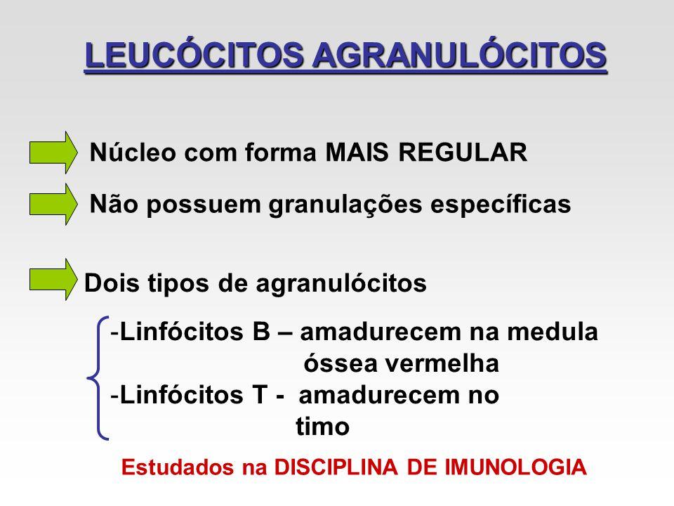 LEUCÓCITOS AGRANULÓCITOS Núcleo com forma MAIS REGULAR Não possuem granulações específicas Dois tipos de agranulócitos -Linfócitos B – amadurecem na m