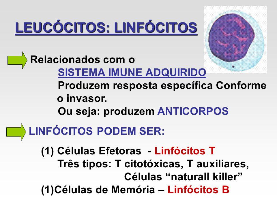 LEUCÓCITOS: LINFÓCITOS Relacionados com o SISTEMA IMUNE ADQUIRIDO Produzem resposta específica Conforme o invasor. Ou seja: produzem ANTICORPOS LINFÓC