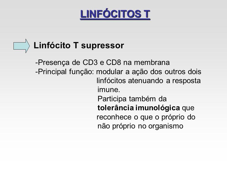 LINFÓCITOS T Linfócito T supressor -Presença de CD3 e CD8 na membrana -Principal função: modular a ação dos outros dois linfócitos atenuando a respost