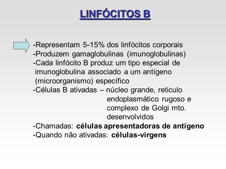 LINFÓCITOS B -Representam 5-15% dos linfócitos corporais -Produzem gamaglobulinas (imunoglobulinas) -Cada linfócito B produz um tipo especial de imuno