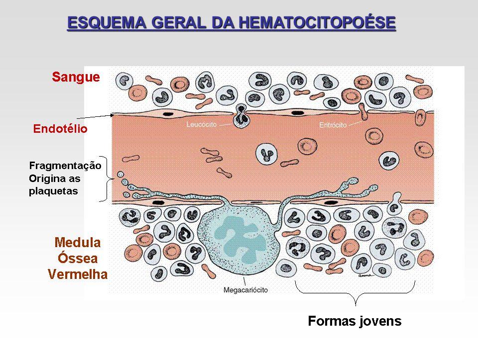 ESQUEMA GERAL DA HEMATOCITOPOÉSE
