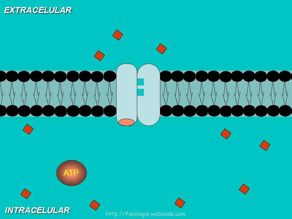 EXTRACELULAR INTRACELULAR ATP http://fisiologia.webnode.com