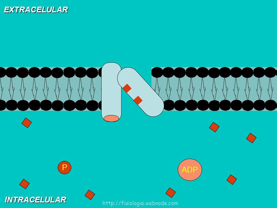 EXTRACELULAR INTRACELULAR ADP P http://fisiologia.webnode.com