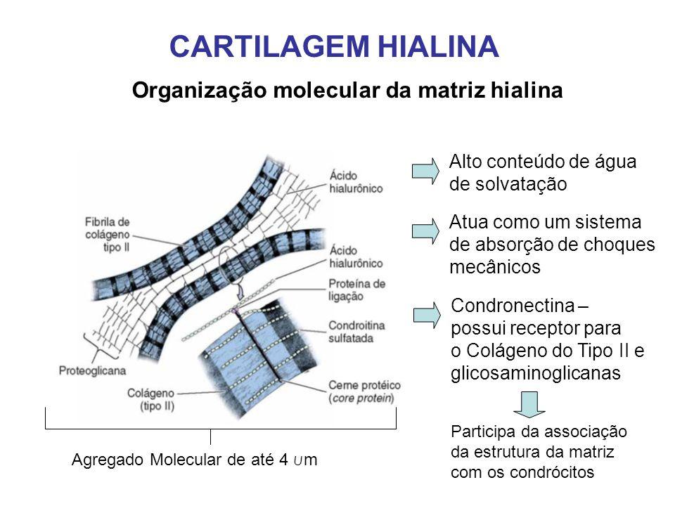 CARTILAGEM HIALINA Organização molecular da matriz hialina Alto conteúdo de água de solvatação Atua como um sistema de absorção de choques mecânicos Agregado Molecular de até 4 u m Condronectina – possui receptor para o Colágeno do Tipo II e glicosaminoglicanas Participa da associação da estrutura da matriz com os condrócitos