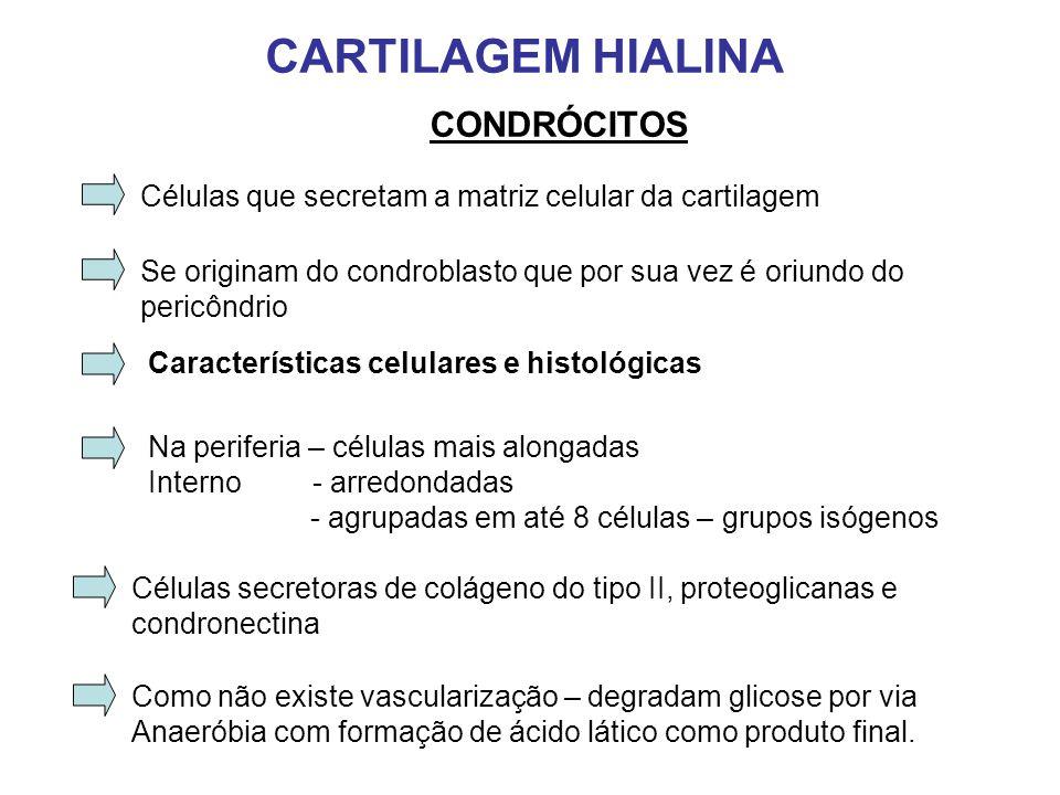 CARTILAGEM HIALINA CONDRÓCITOS Células que secretam a matriz celular da cartilagem Características celulares e histológicas Na periferia – células mais alongadas Interno - arredondadas - agrupadas em até 8 células – grupos isógenos Se originam do condroblasto que por sua vez é oriundo do pericôndrio Células secretoras de colágeno do tipo II, proteoglicanas e condronectina Como não existe vascularização – degradam glicose por via Anaeróbia com formação de ácido lático como produto final.