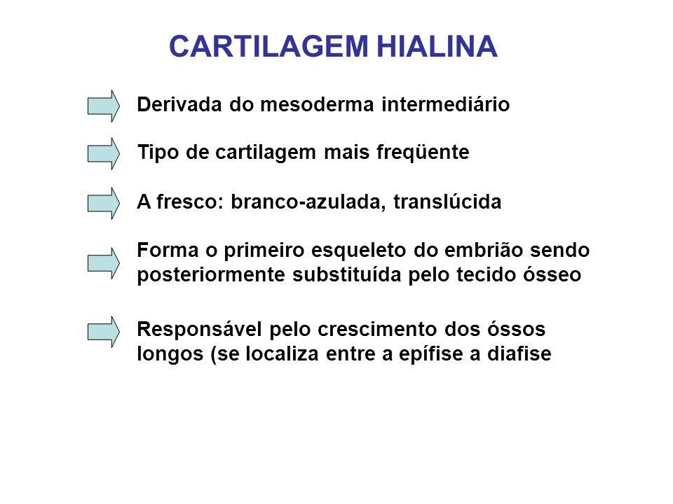 CARTILAGEM HIALINA Tipo de cartilagem mais freqüente A fresco: branco-azulada, translúcida Forma o primeiro esqueleto do embrião sendo posteriormente substituída pelo tecido ósseo Responsável pelo crescimento dos óssos longos (se localiza entre a epífise a diafise Derivada do mesoderma intermediário