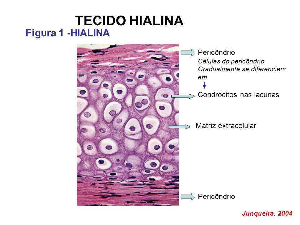 TECIDO HIALINA Figura 1 -HIALINA Condrócitos nas lacunas Matriz extracelular Pericôndrio Células do pericôndrio Gradualmente se diferenciam em Pericôndrio Junqueira, 2004