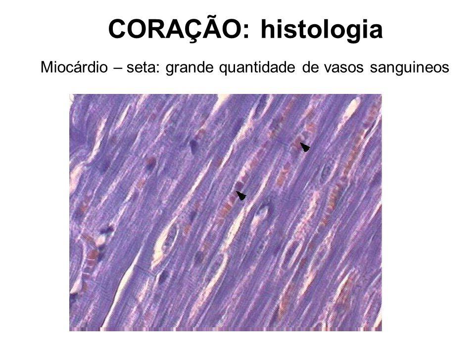 Miocárdio – seta: grande quantidade de vasos sanguineos CORAÇÃO: histologia