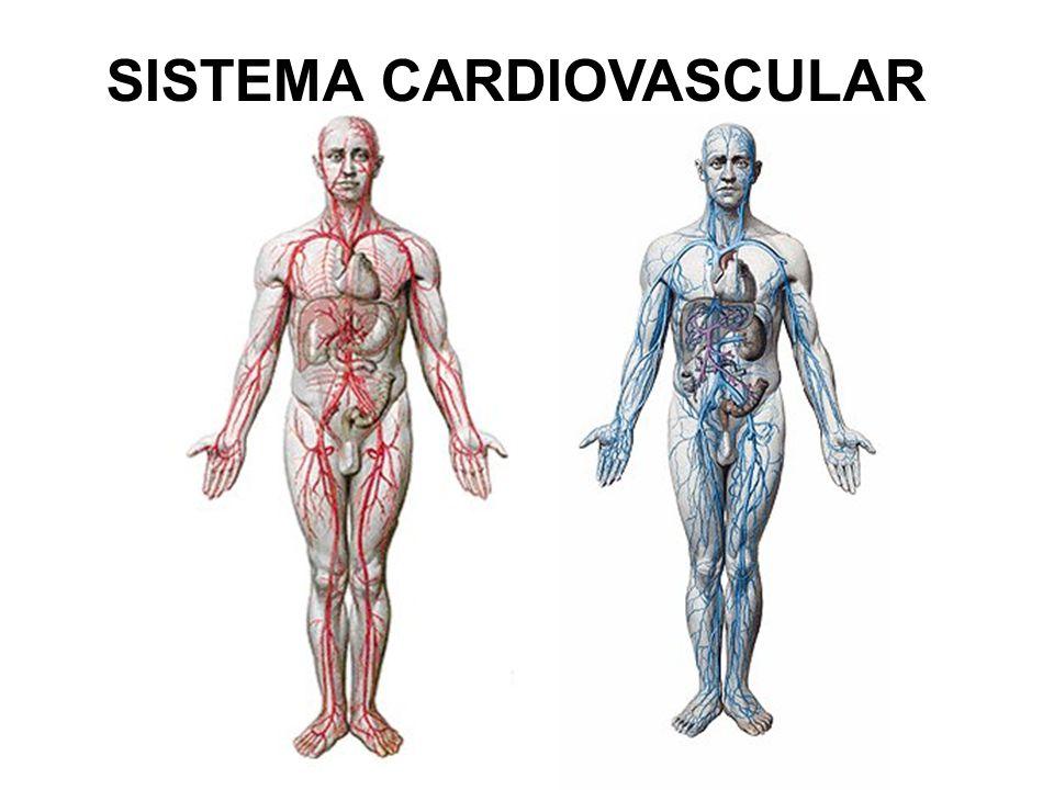 CORAÇÃO Órgão que se contrai de modo ritmico Produz substâncias regulatórias importantes: - Hormônio natriurético relacionado com a diminuição da pressão arterial.
