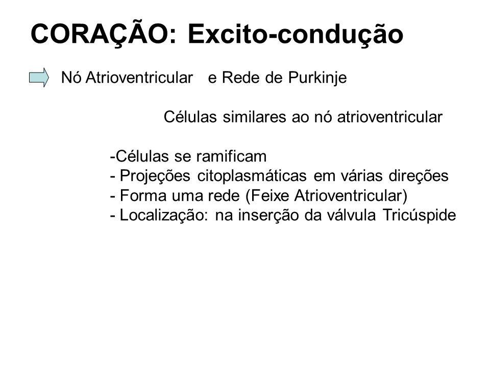 CORAÇÃO: Excito-condução Nó Atrioventriculare Rede de Purkinje Células similares ao nó atrioventricular -Células se ramificam - Projeções citoplasmáticas em várias direções - Forma uma rede (Feixe Atrioventricular) - Localização: na inserção da válvula Tricúspide