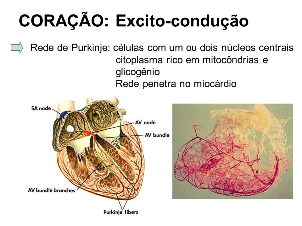 CORAÇÃO: Excito-condução Rede de Purkinje: células com um ou dois núcleos centrais citoplasma rico em mitocôndrias e glicogênio Rede penetra no miocár