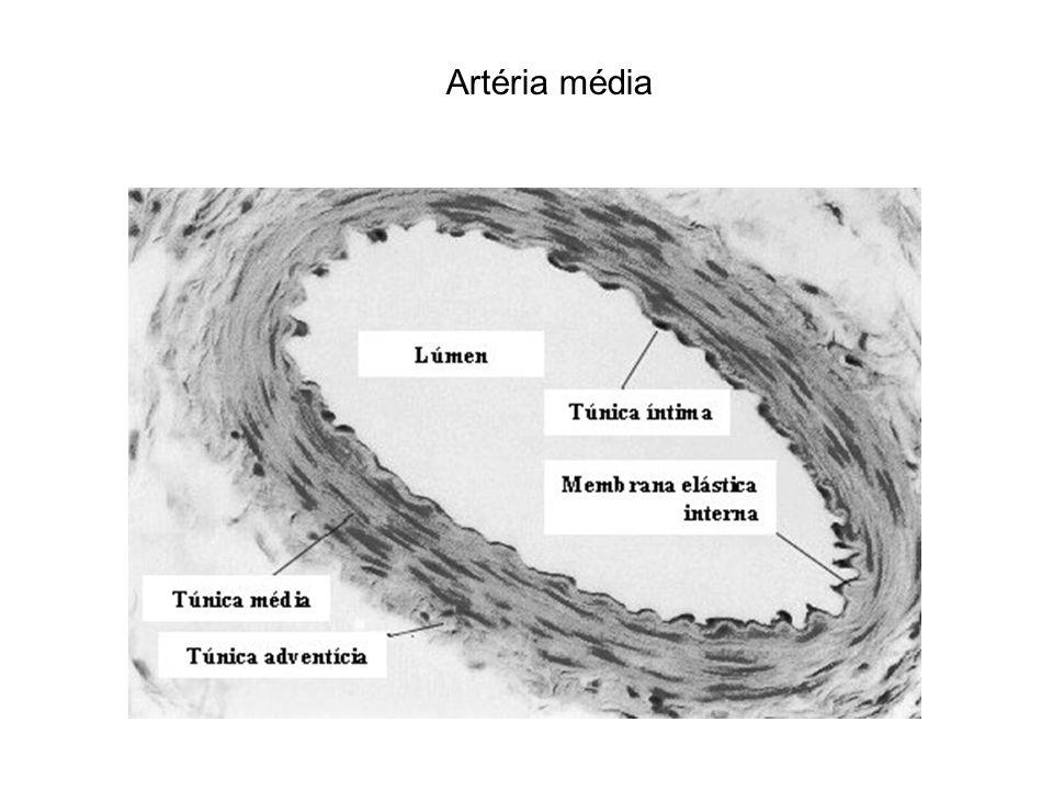 Artéria média