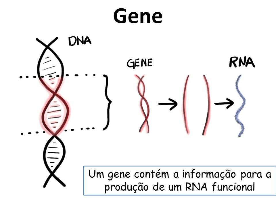 Gene Um gene contém a informação para a produção de um RNA funcional