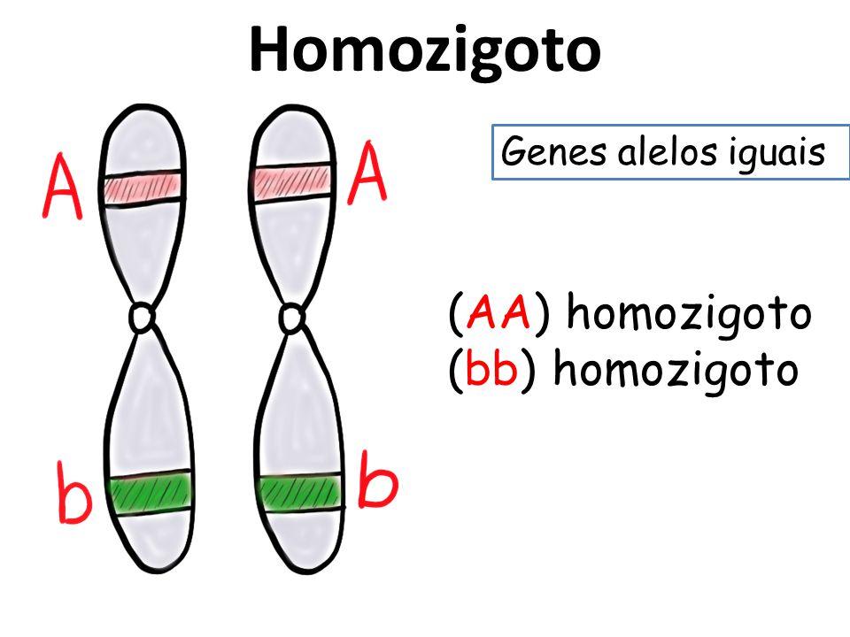 Homozigoto (AA) homozigoto (bb) homozigoto Genes alelos iguais