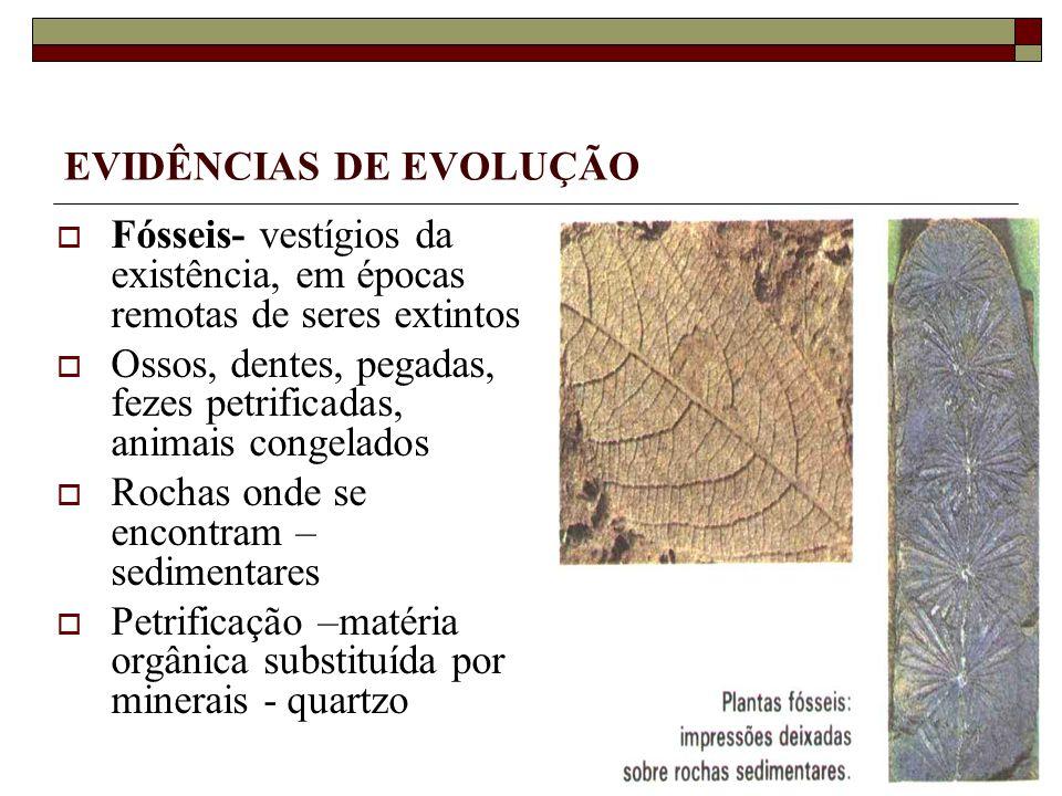 EVIDÊNCIAS DE EVOLUÇÃO Fósseis- vestígios da existência, em épocas remotas de seres extintos Ossos, dentes, pegadas, fezes petrificadas, animais congelados Rochas onde se encontram – sedimentares Petrificação –matéria orgânica substituída por minerais - quartzo