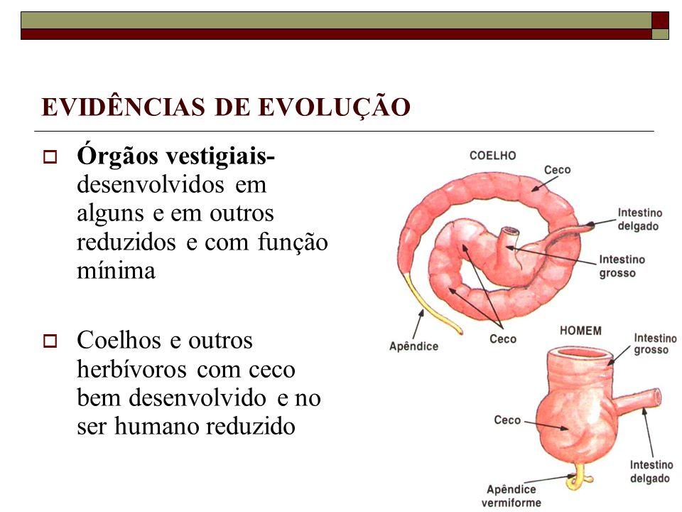 Órgãos vestigiais- desenvolvidos em alguns e em outros reduzidos e com função mínima Coelhos e outros herbívoros com ceco bem desenvolvido e no ser humano reduzido