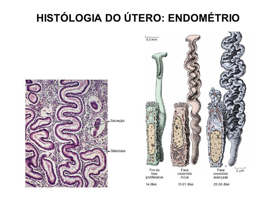 HISTÓLOGIA DO ÚTERO: ENDOMÉTRIO