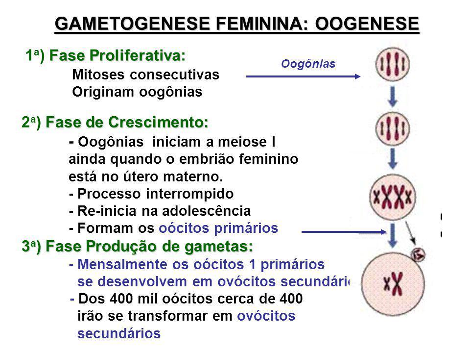 GAMETOGENESE FEMININA: OOGENESE Fase Proliferativa 1 a ) Fase Proliferativa: Mitoses consecutivas Originam oogônias Oogônias Fase de Crescimento: 2 a