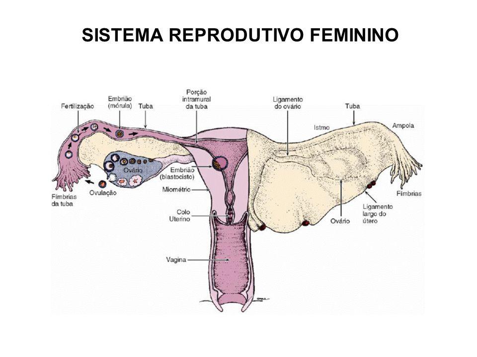 CORPO LÚTEO -Secreta progesterona e estrogênio -Considerado um órgão endócrino -Mantém sua atividade por cerca de 12 dias -Função: estimulo do tecido uterino (endométrio) -A crescer e manter sua atividade secretório -Na ausência de fecundação degenera -Na presença de fecundação é fundamental para manter o inicio da gravidez (corpo lúteo gravítico) -Degenera apenas no quarto mês da gravidez (luteólise) -Local da degeneração: corpo albicans