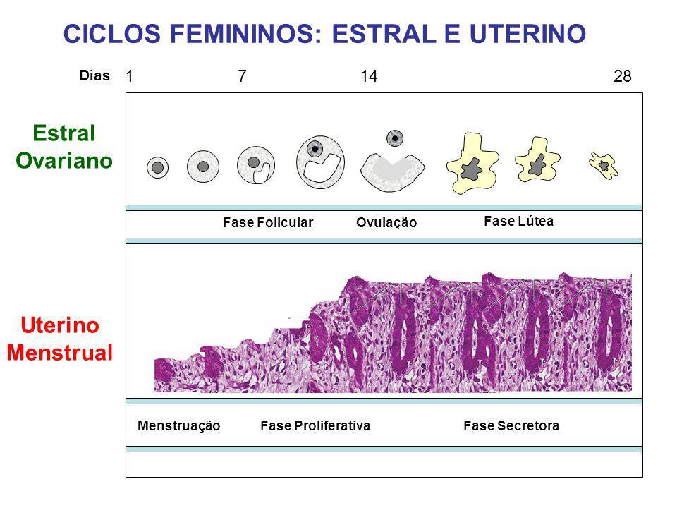 Fase FolicularOvulaçäo Fase Lútea 1 7 14 28 Dias MenstruaçäoFase ProliferativaFase Secretora CICLOS FEMININOS: ESTRAL E UTERINO Estral Ovariano Uterin