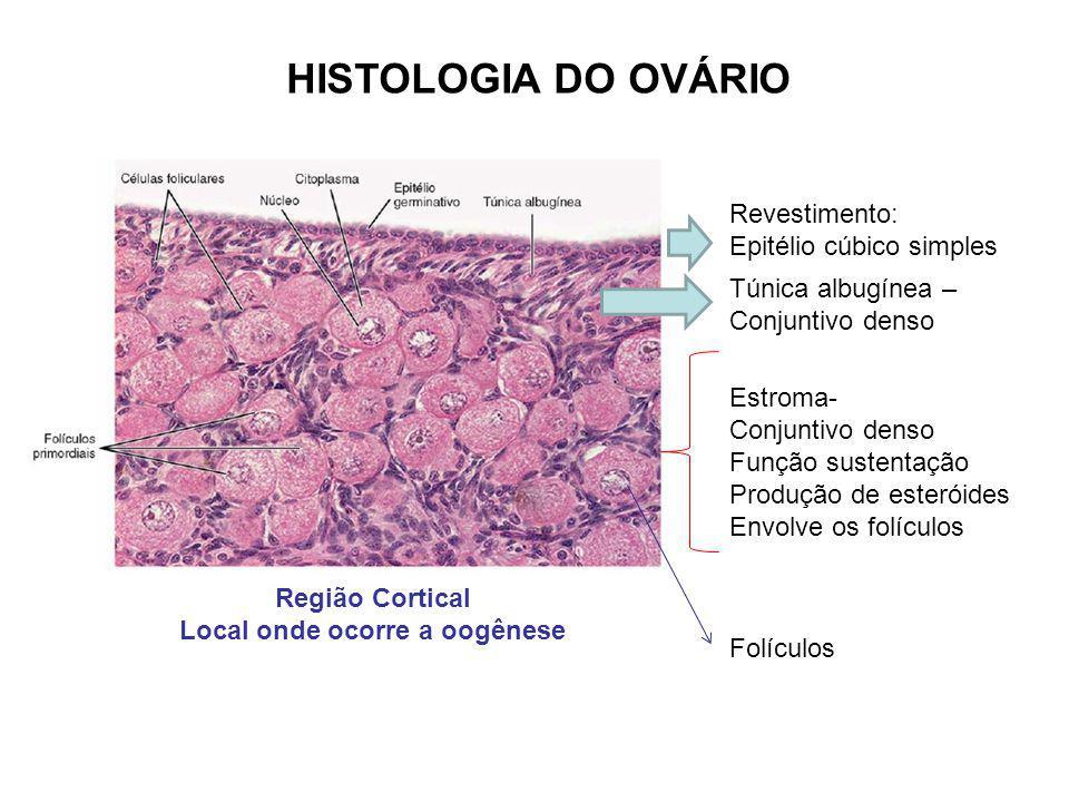 Região Cortical Local onde ocorre a oogênese Revestimento: Epitélio cúbico simples Túnica albugínea – Conjuntivo denso Estroma- Conjuntivo denso Funçã