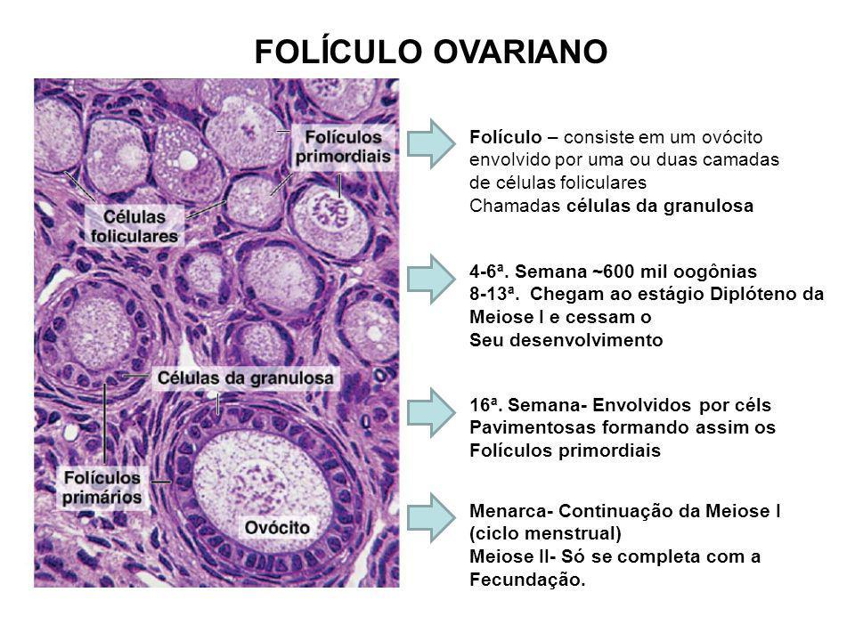 HISTOLOGIA DO FOLÍCULO -Células Foliculares se dividem por mitose forma uma camada única de células cubóides (Folículo Unilaminar) -- Células foliculares continuam proliferando e formam a CAMADA GRANULOSA -Uma camada amorfa composta por glicoproteína é secretada e envolve o ovócito (ZONA PELÚCIDA) -- Acúmulo de líquido folicular formando o ANTRO FOLICULAR – Folículos secundários.