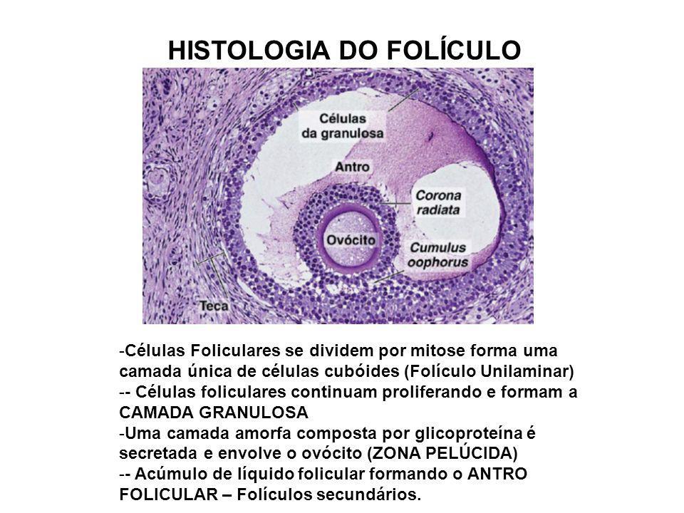 HISTOLOGIA DO FOLÍCULO -Células Foliculares se dividem por mitose forma uma camada única de células cubóides (Folículo Unilaminar) -- Células folicula