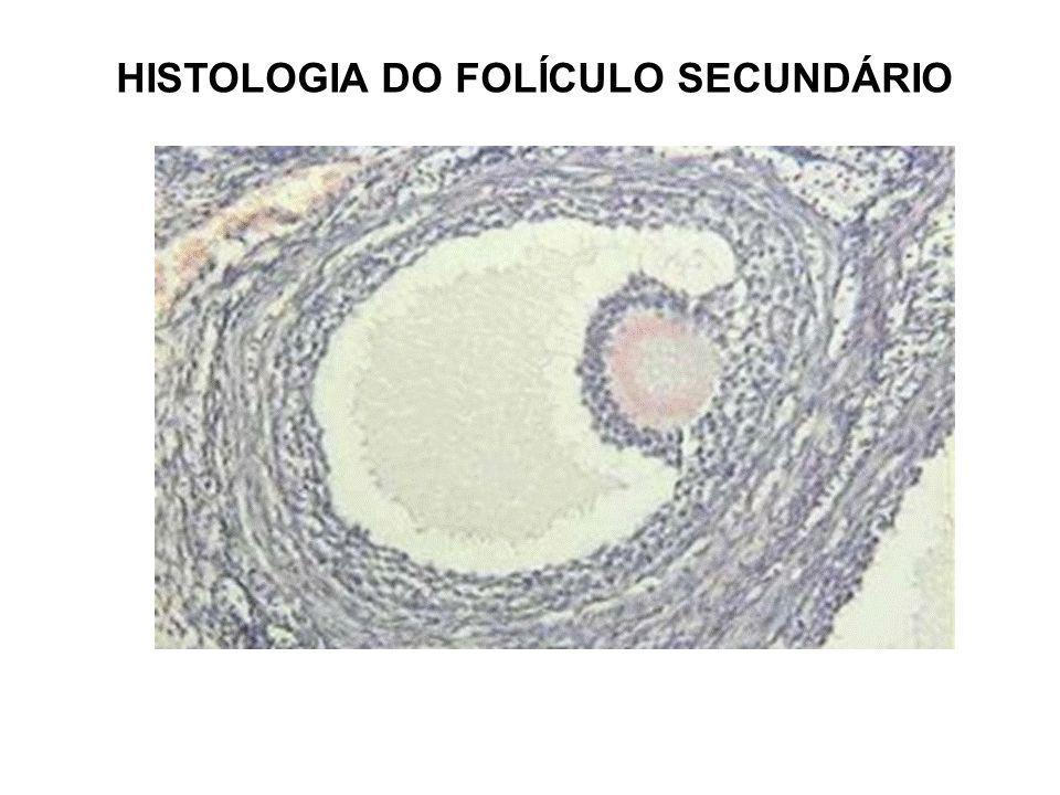 Fase FolicularOvulaçäo Fase Lútea 1 7 14 28 Dias MenstruaçäoFase ProliferativaFase Secretora CICLOS FEMININOS: ESTRAL E UTERINO Estral Ovariano Uterino Menstrual