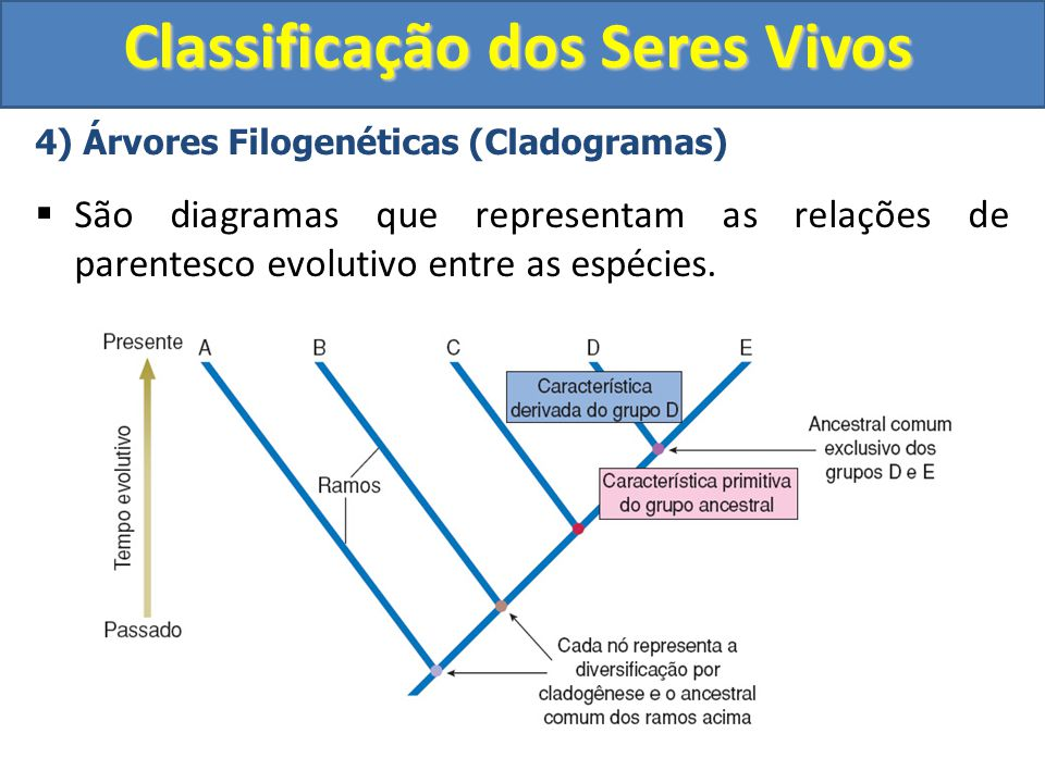 Classificação dos Seres Vivos 4) Árvores Filogenéticas (Cladogramas) São diagramas que representam as relações de parentesco evolutivo entre as espéci