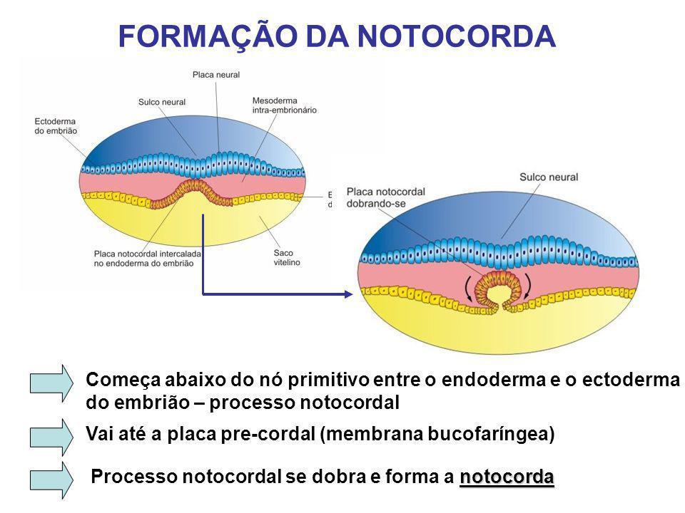 PAPEL DA NOTOCORDA NA DIFERENCIAÇÃO EMBRIONÁRIA Formação da notocorda induz a formação da placa e do tubo neural Ao redor da notocorda o mesoderma embrionário se organiza e se diferencia para originar os diversos tecidos corporais