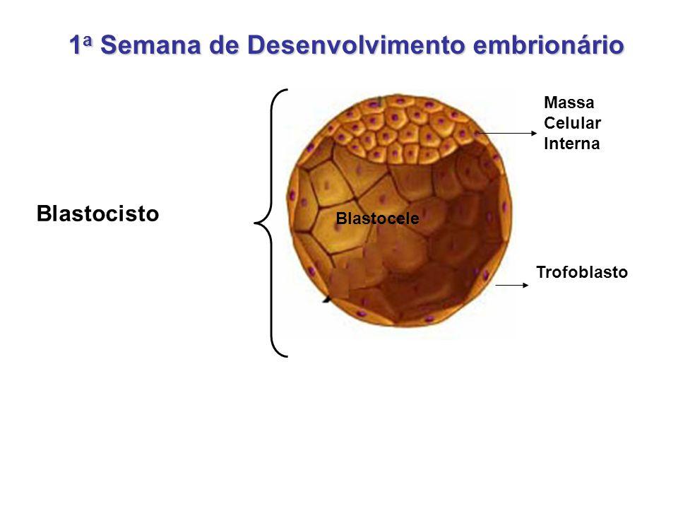 Trofoblasto Blastocele Massa Celular Interna Blastocisto 1 a Semana de Desenvolvimento embrionário
