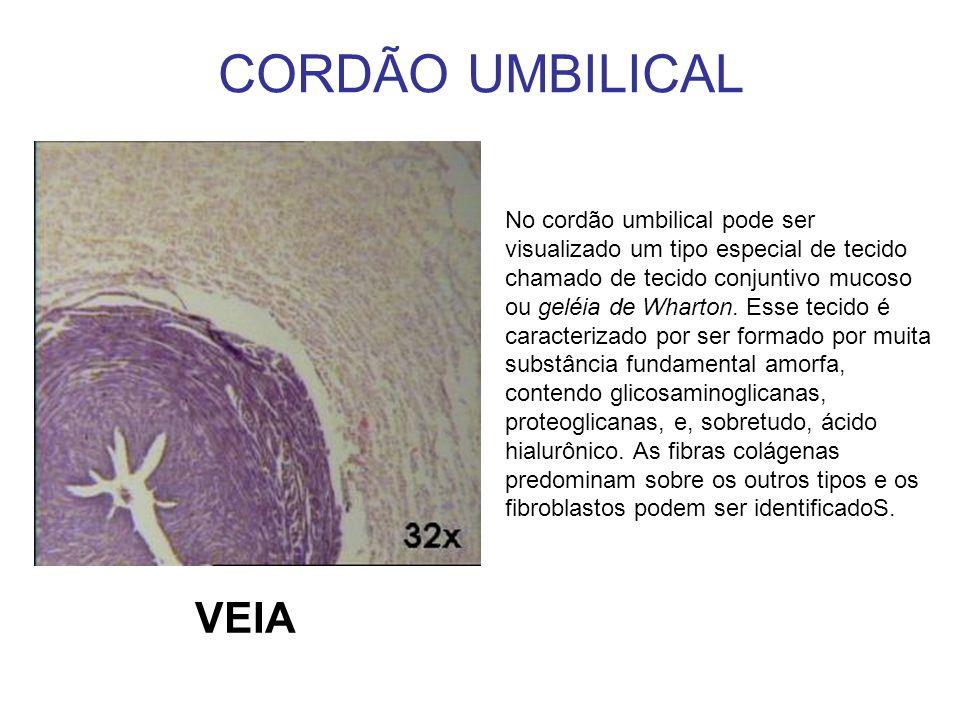 CORDÃO UMBILICAL No cordão umbilical pode ser visualizado um tipo especial de tecido chamado de tecido conjuntivo mucoso ou geléia de Wharton. Esse te