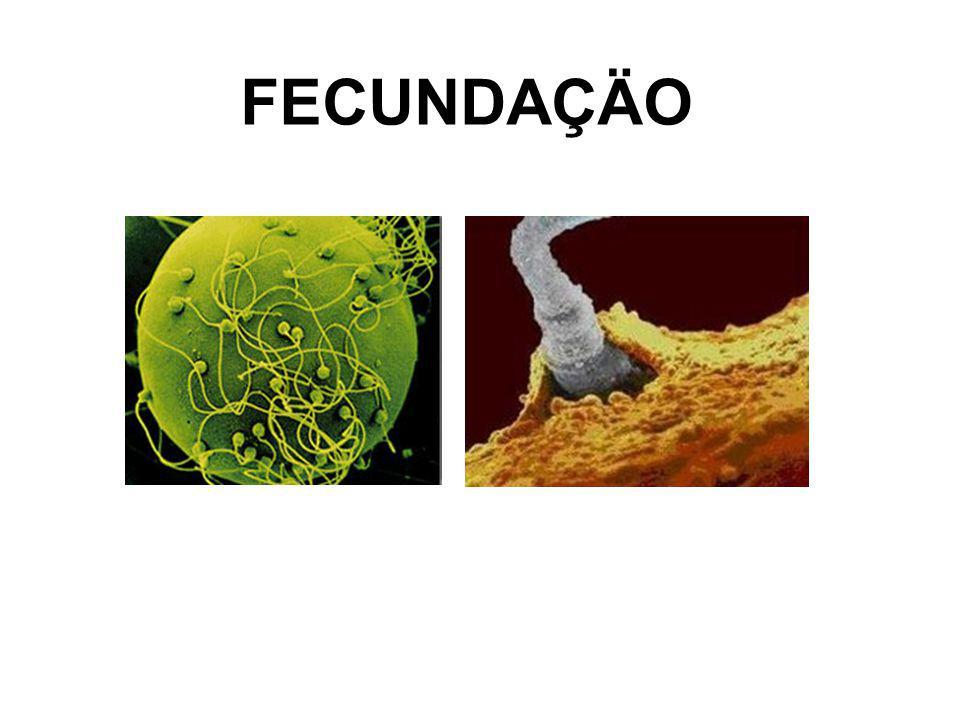 FENÔMENOS PRÉ-DESENVOLVIMENTO EMBRIONÁRIO Gametogênese - Espermatogênese - Oogênese Fecundação - Capacitação - Reação acrossômica – espermatozóide liga-se a zona pelúcida - Fusão das membranas plasmáticas do espermatozóide e do ovócito - Reação da zona cortical - Finalização da meiose - Fusão dos pro-nucleos masculino e feminino