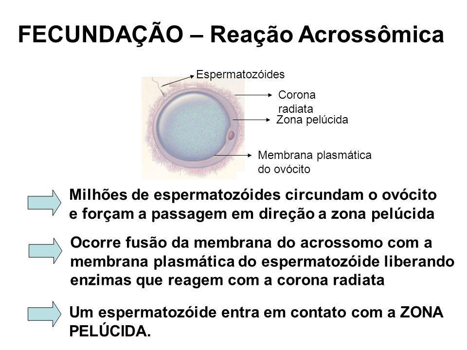 FECUNDAÇÃO – Reação Acrossômica Corona radiata Zona pelúcida Membrana plasmática do ovócito Espermatozóides Milhões de espermatozóides circundam o ovócito e forçam a passagem em direção a zona pelúcida