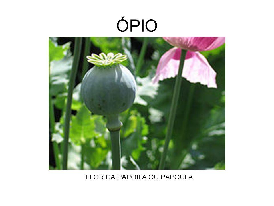 ÓPIO FLOR DA PAPOILA OU PAPOULA