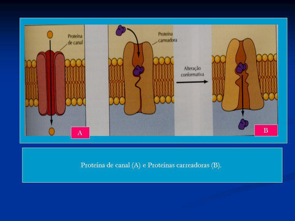 Proteína de canal (A) e Proteínas carreadoras (B). A B