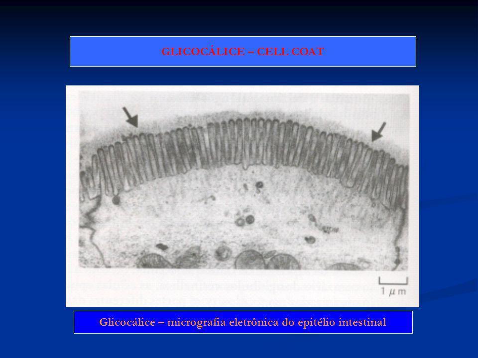 Glicocálice – micrografia eletrônica do epitélio intestinal GLICOCÁLICE – CELL COAT