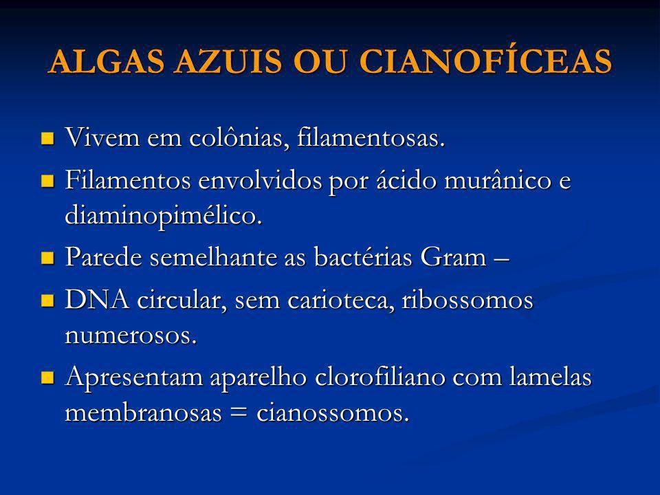 ALGAS AZUIS OU CIANOFÍCEAS Vivem em colônias, filamentosas. Vivem em colônias, filamentosas. Filamentos envolvidos por ácido murânico e diaminopimélic