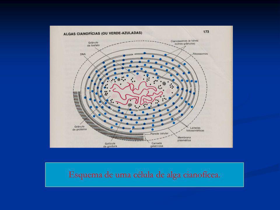 MICOPLASMAS ou PPLO Bactérias patogênicas.Bactérias patogênicas.
