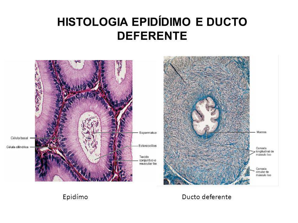 HISTOLOGIA EPIDÍDIMO E DUCTO DEFERENTE EpidímoDucto deferente