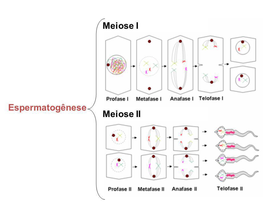 Meiose I Meiose II Espermatogênese