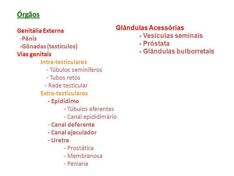 Órgãos Genitália Externa -Pênis -Gônadas (testículos) Vias genitais Intra-testiculares - Túbulos seminíferos - Tubos retos - Rede testicular Extra-tes