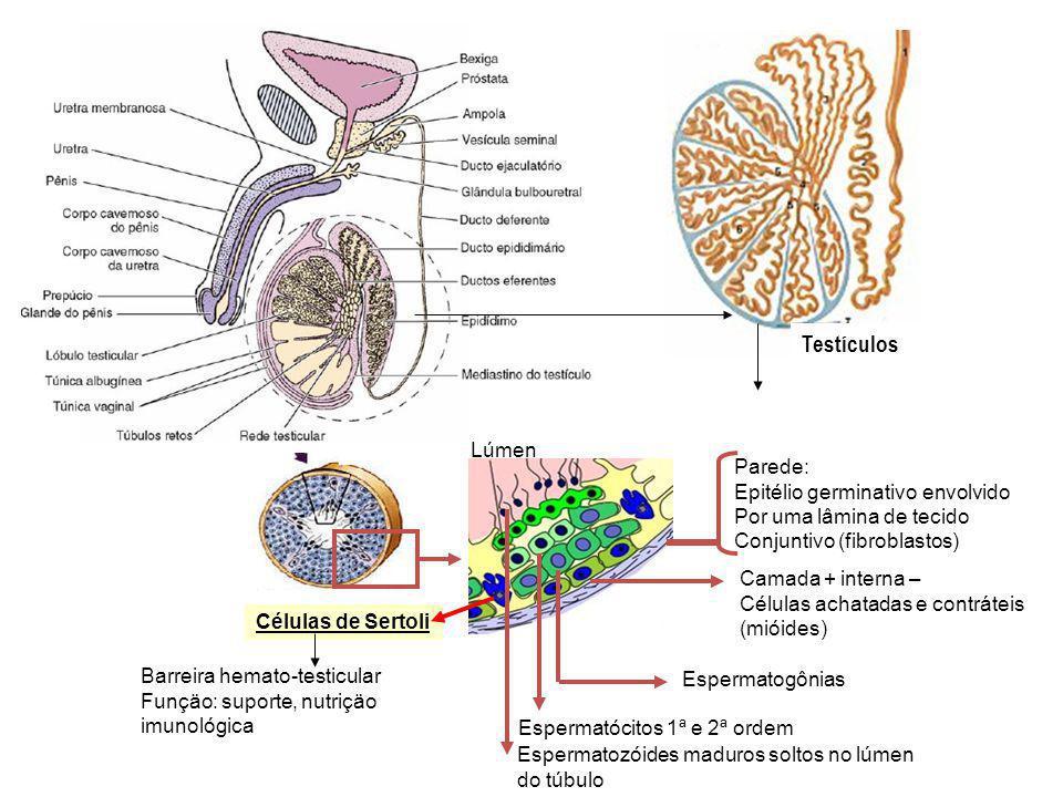 Testículos Lúmen Parede: Epitélio germinativo envolvido Por uma lâmina de tecido Conjuntivo (fibroblastos) Camada + interna – Células achatadas e cont