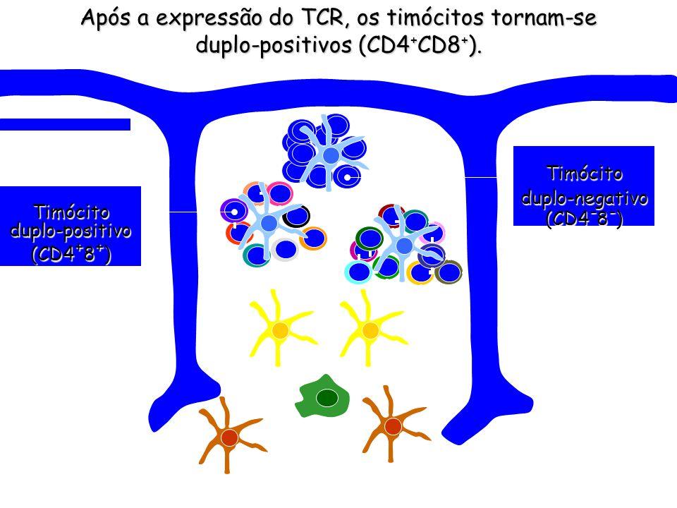 Após a expressão da molécula pT, inicia-se o rearranjo da cadeia Após a expressão da molécula pT, inicia-se o rearranjo da cadeia (70) (70)Timócitosdu
