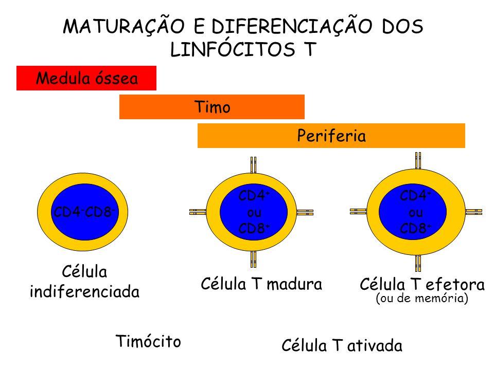 MATURAÇÃO E DIFERENCIAÇÃO DOS LINFÓCITOS T Célula T madura Célula T efetora (ou de memória) Timócito Célula T ativada Medula óssea Periferia Timo Célula indiferenciada CD4 - CD8 - CD4 + ou CD8 +